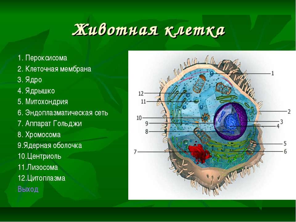 Животная клетка 1. Пероксисома 2. Клеточная мембрана 3. Ядро 4. Ядрышко 5. Ми...