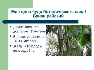 Ещё одно чудо ботанического сада! Банан райский Длина листьев достигает 3 мет...