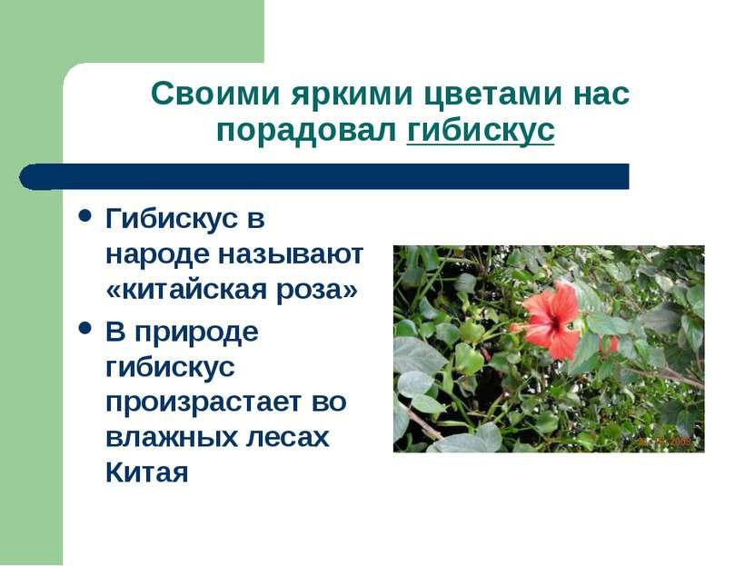 Своими яркими цветами нас порадовал гибискус Гибискус в народе называют «кита...
