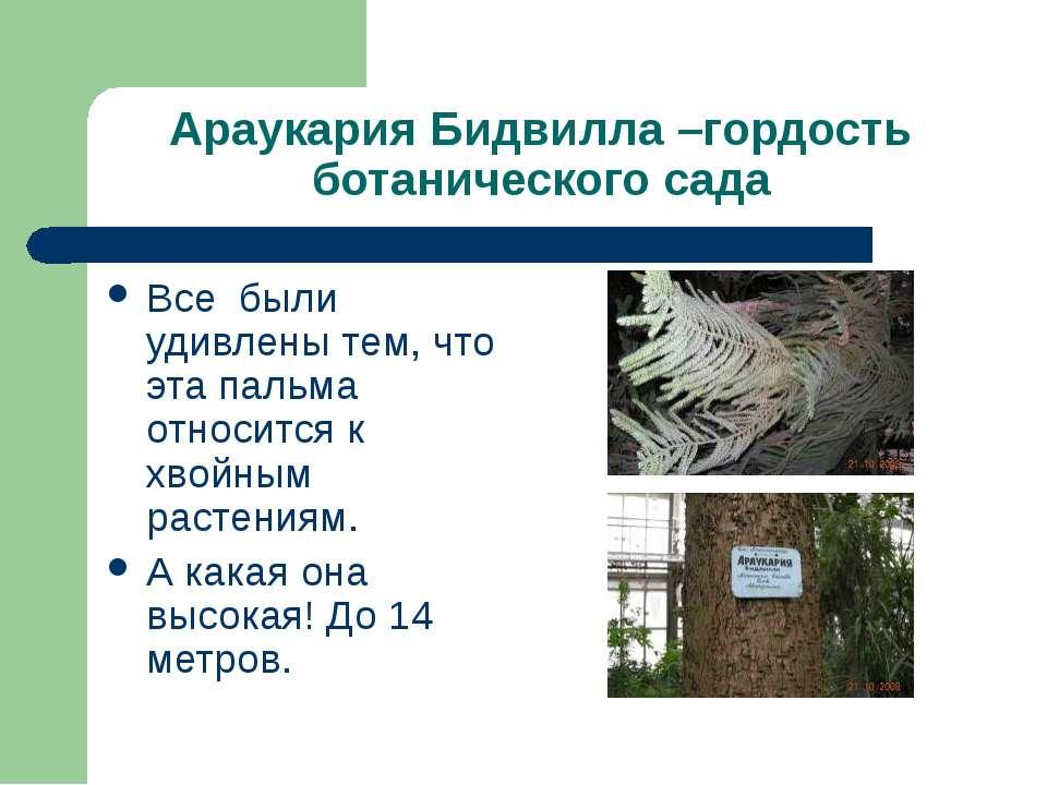 Араукария Бидвилла –гордость ботанического сада Все были удивлены тем, что эт...