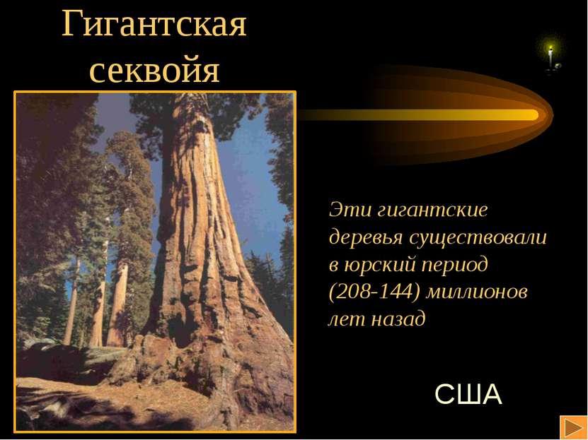 Гигантская секвойя Эти гигантские деревья существовали в юрский период (208-1...