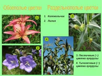 2 1 4 3 Колокольчик Лилия 3. Пестичные (♀) цветки кукурузы 4. Тычиночные (♂) ...