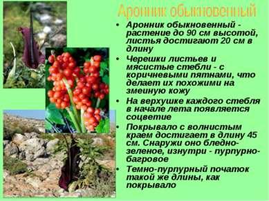 Аронник обыкновенный - растение до 90 см высотой, листья достигают 20 см в дл...