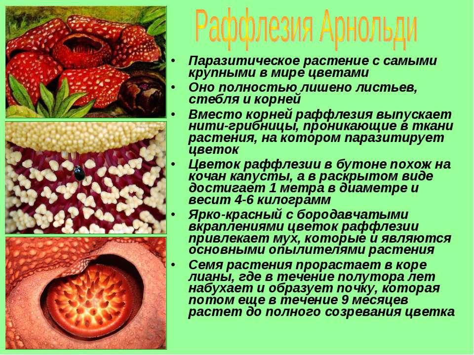 Паразитическое растение с самыми крупными в мире цветами Оно полностью лишено...
