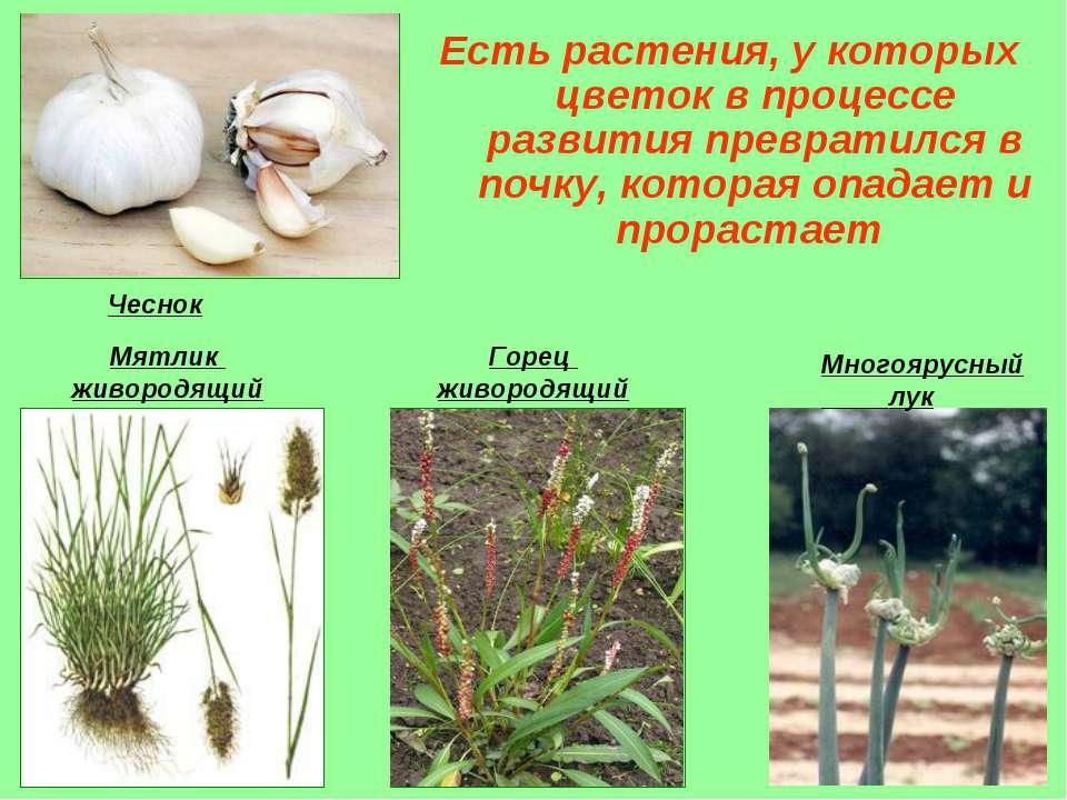 Есть растения, у которых цветок в процессе развития превратился в почку, кото...
