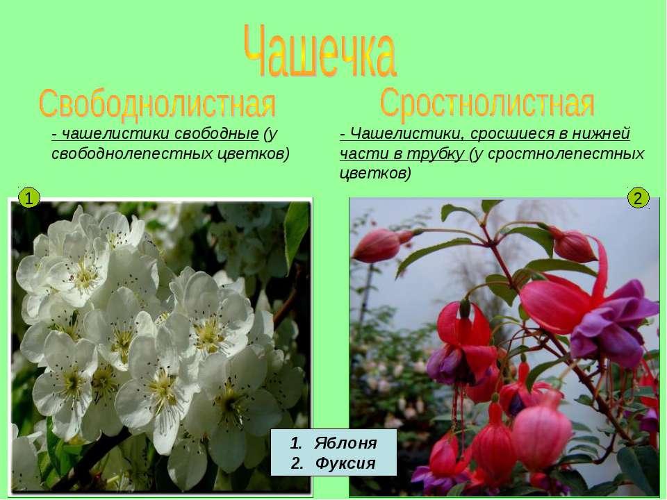 - чашелистики свободные (у свободнолепестных цветков) - Чашелистики, сросшиес...