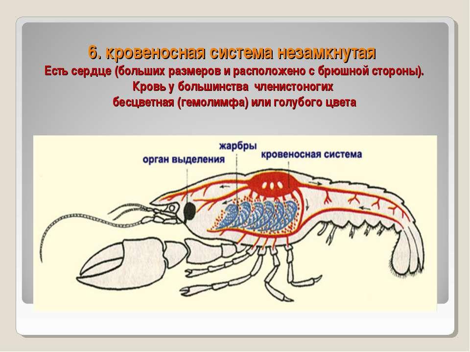 6. кровеносная система незамкнутая Есть сердце (больших размеров и расположен...