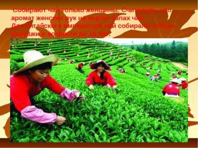 Собирают чай только женщины. Считалось, что аромат женских рук не портит запа...