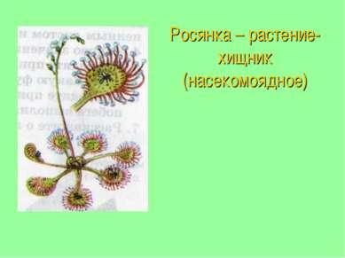 Росянка – растение-хищник (насекомоядное)