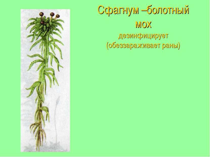 Сфагнум –болотный мох дезинфицирует (обеззараживает раны)