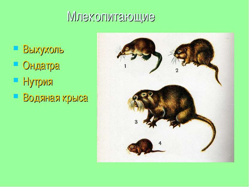 Млекопитающие Выхухоль Ондатра Нутрия Водяная крыса