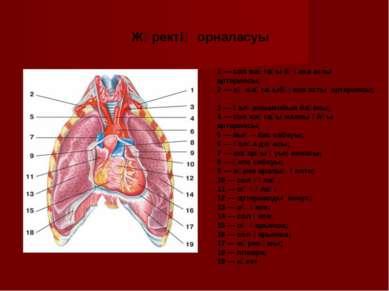 1 — сол жақтағы бұғана асты артериясы; 2 — оң жақтағыбұғана асты артериясы; 3...