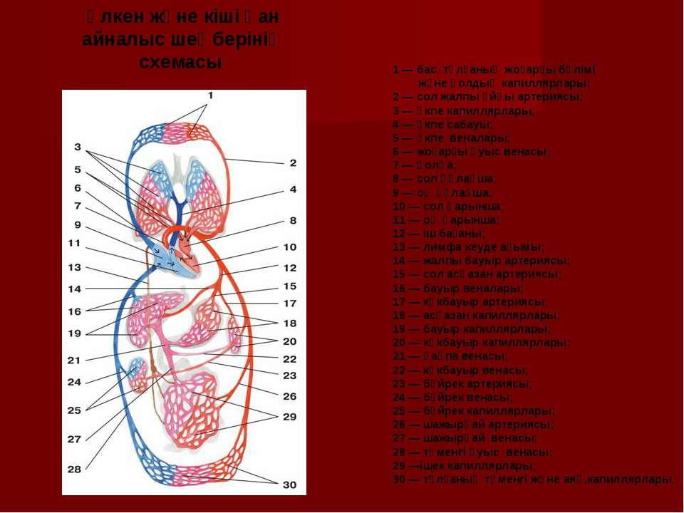1 — бас, тұлғаның жоғарғы бөлімі және қолдың капиллярлары; 2 — сол жалпы ұйқы...
