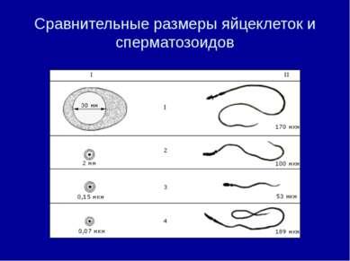 Сравнительные размеры яйцеклеток и сперматозоидов