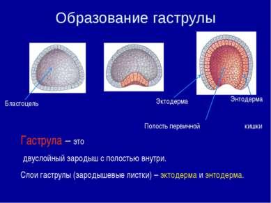 Гаструла – это двуслойный зародыш с полостью внутри. Слои гаструлы (зародышев...