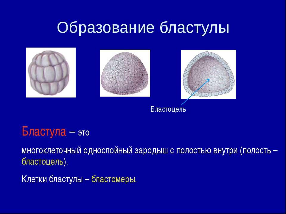 Бластула – это многоклеточный однослойный зародыш с полостью внутри (полость ...