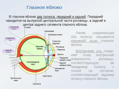 Глазное яблоко В глазном яблоке два полюса: передний и задний. Передний наход...