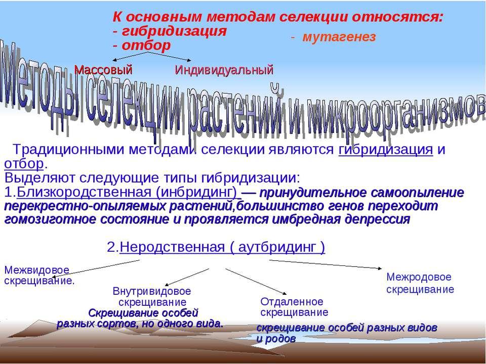 К основным методам селекции относятся: - гибридизация - отбор Традиционными м...