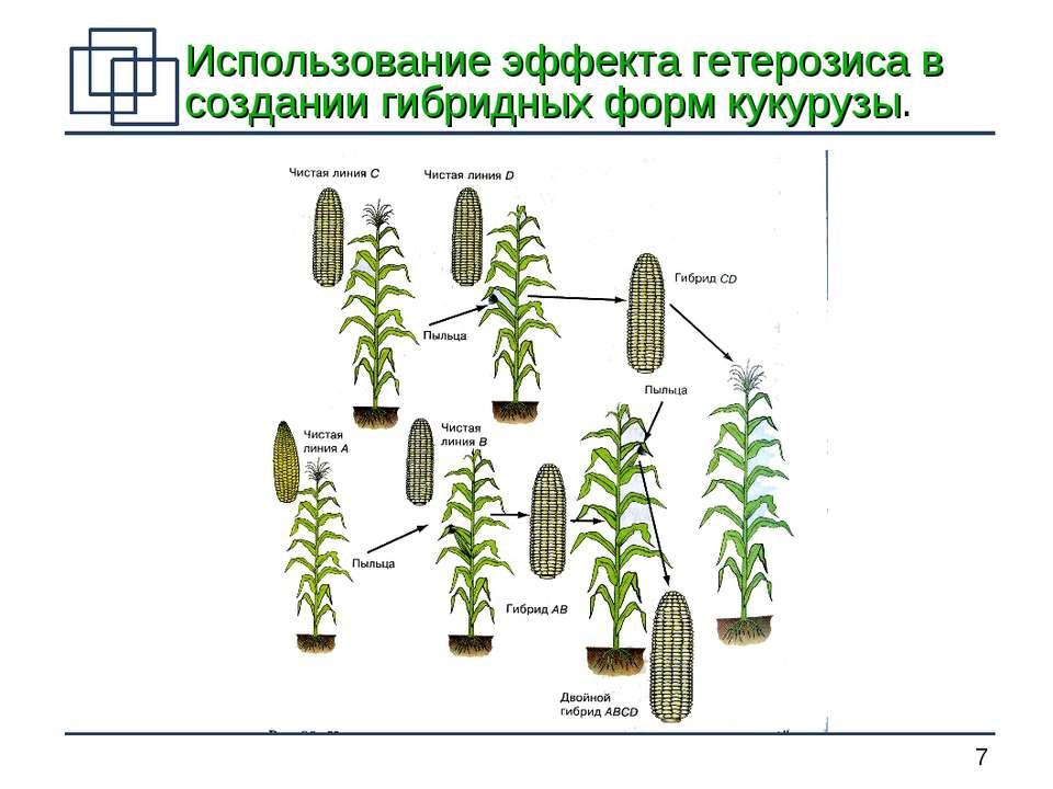 гибридных форм кукурузы. *