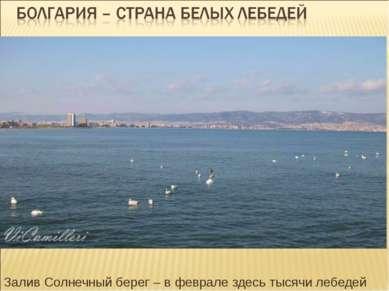 Залив Солнечный берег – в феврале здесь тысячи лебедей