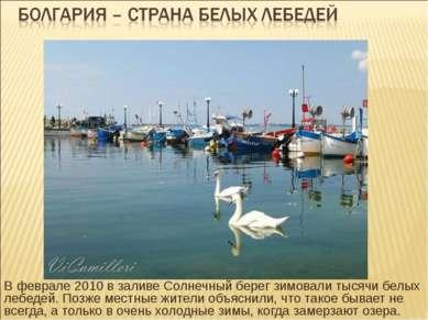 В феврале 2010 в заливе Солнечный берег зимовали тысячи белых лебедей. Позже ...