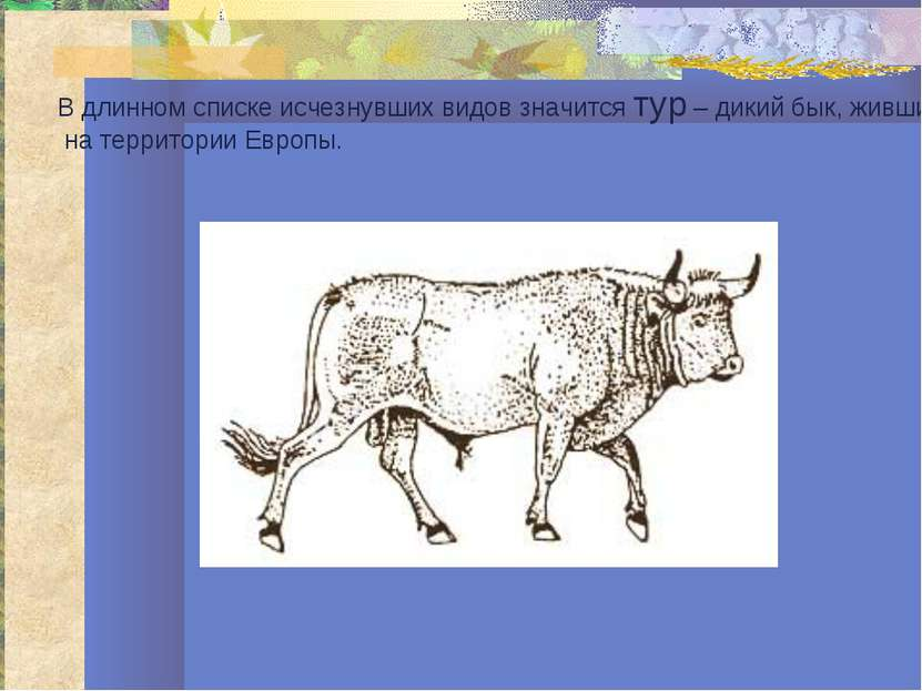 В длинном списке исчезнувших видов значится тур – дикий бык, живший на террит...