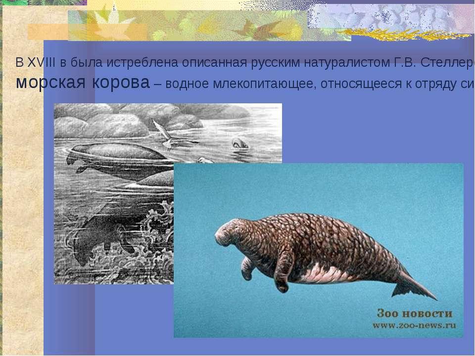 В XVIII в была истреблена описанная русским натуралистом Г.В. Стеллером морск...