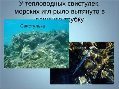 У тепловодных свистулек, морских игл рыло вытянуто в длинную трубку Свистулька