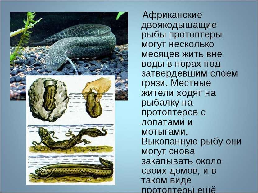 Африканские двоякодышащие рыбы протоптеры могут несколько месяцев жить вне во...