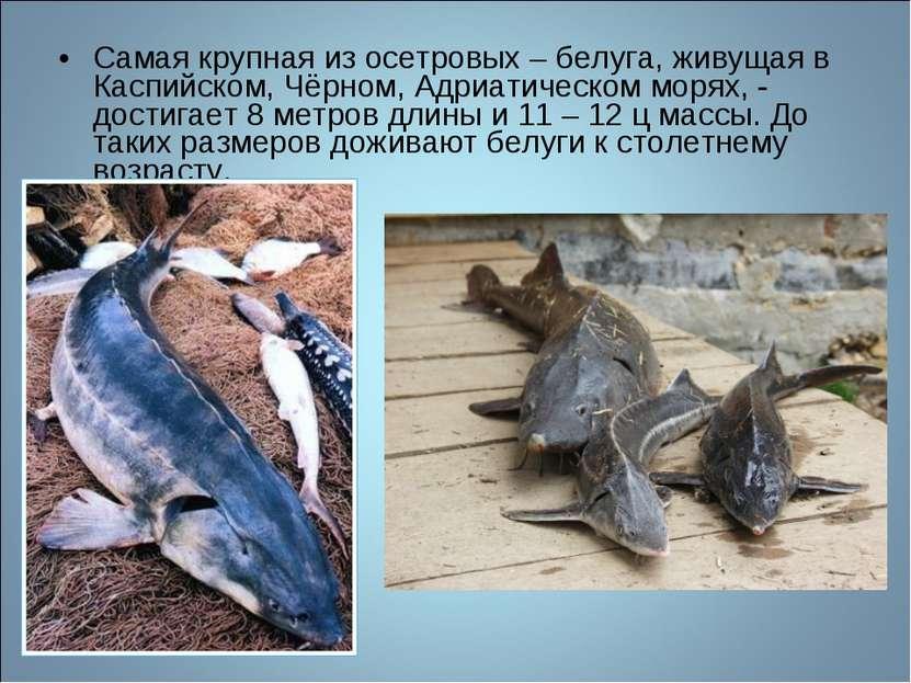 Самая крупная из осетровых – белуга, живущая в Каспийском, Чёрном, Адриатичес...