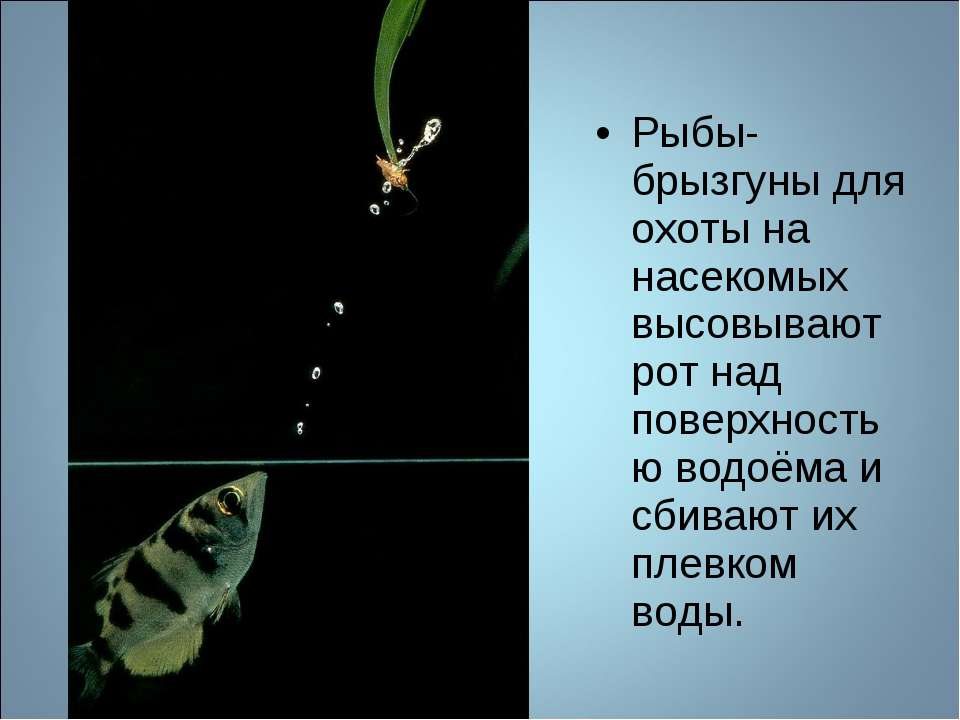 Рыбы-брызгуны для охоты на насекомых высовывают рот над поверхностью водоёма ...
