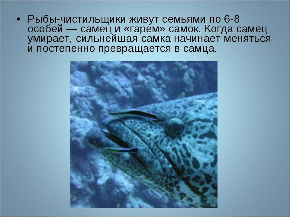 Рыбы-чистильщики живут семьями по 6-8 особей — самец и «гарем» самок. Когда с...