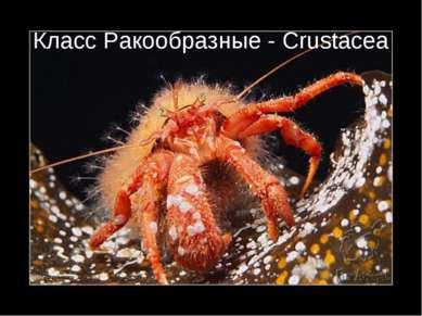 Класс Ракообразные - Crustacea