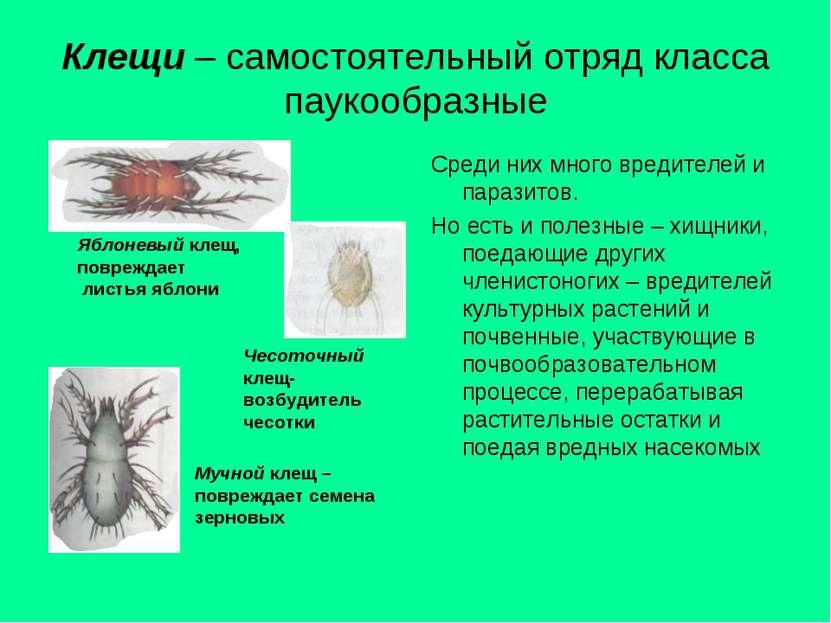 Клещи – самостоятельный отряд класса паукообразные Среди них много вредителей...