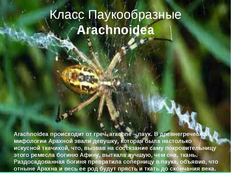 Класс Паукообразные Arachnoidea Arachnoidea происходит от греч. arachne – пау...