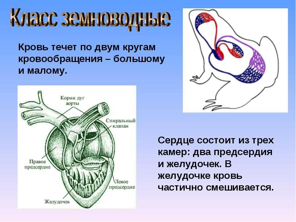 Кровь течет по двум кругам кровообращения – большому и малому. Сердце состоит...