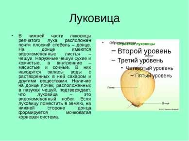 Луковица В нижней части луковицы репчатого лука расположен почти плоский стеб...