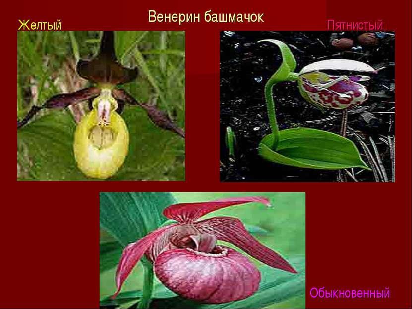 Венерин башмачок Желтый Пятнистый Обыкновенный