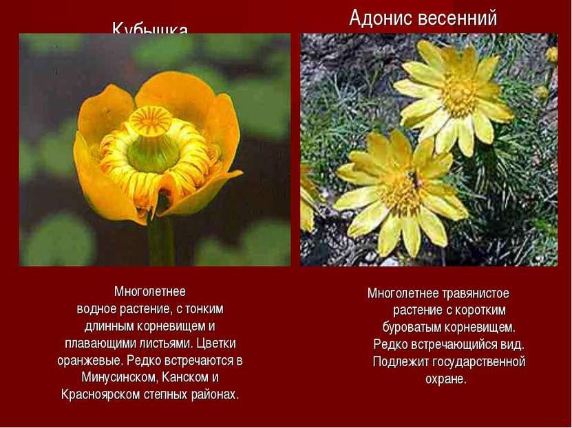 Кубышка Многолетнее водное растение, с тонким длинным корневищем и плавающими...