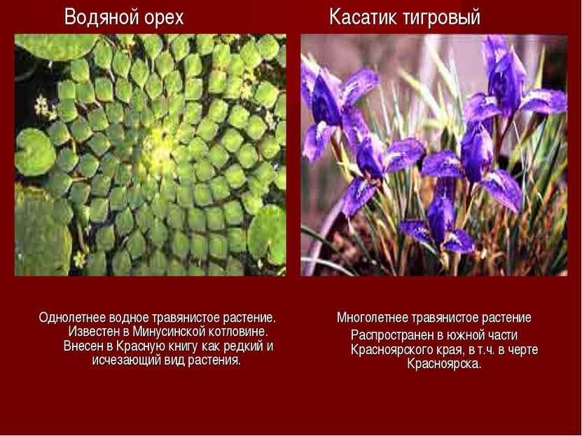 Водяной орех Однолетнее водное травянистое растение. Известен в Минусинской к...