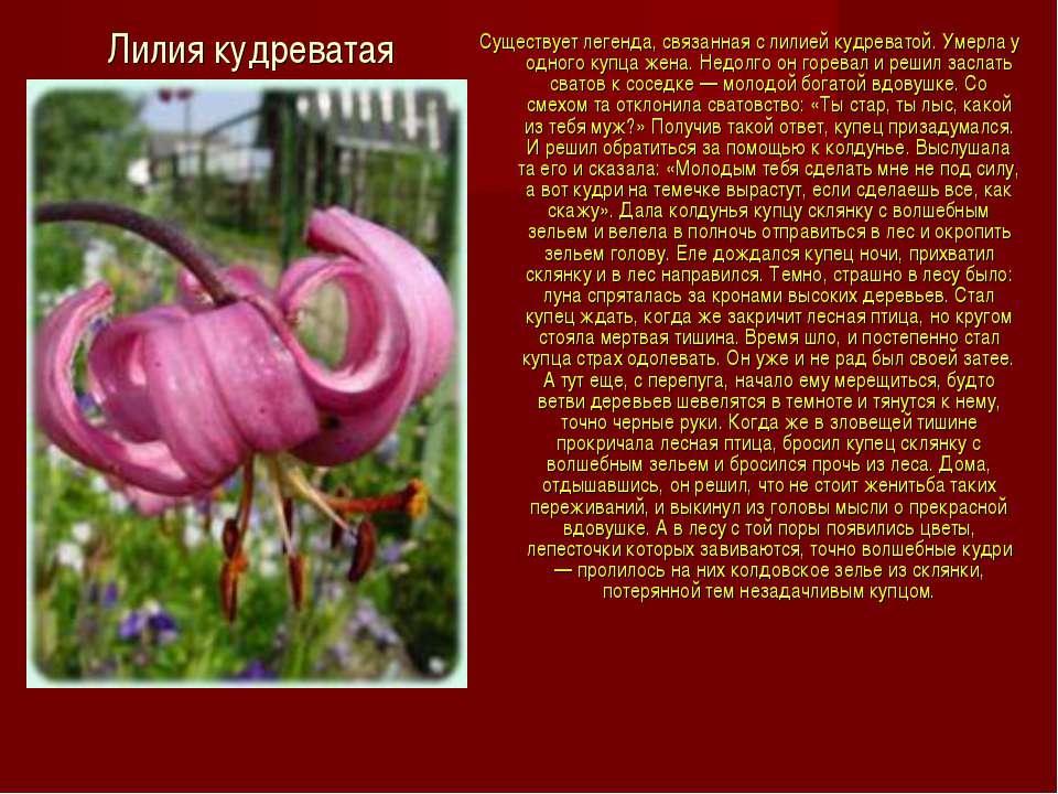 Лилия кудреватая Существует легенда, связанная с лилией кудреватой. Умерла у ...