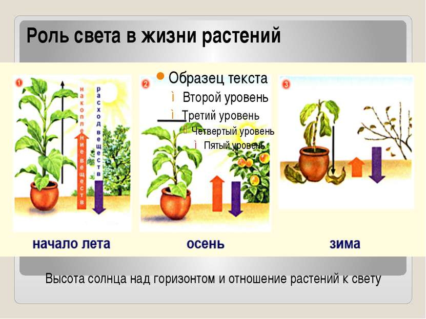 Роль света в жизни растений Высота солнца над горизонтом и отношение растений...