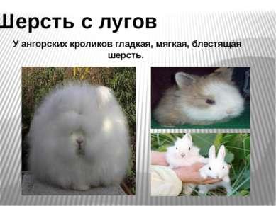 Шерсть с лугов У ангорских кроликов гладкая, мягкая, блестящая шерсть.