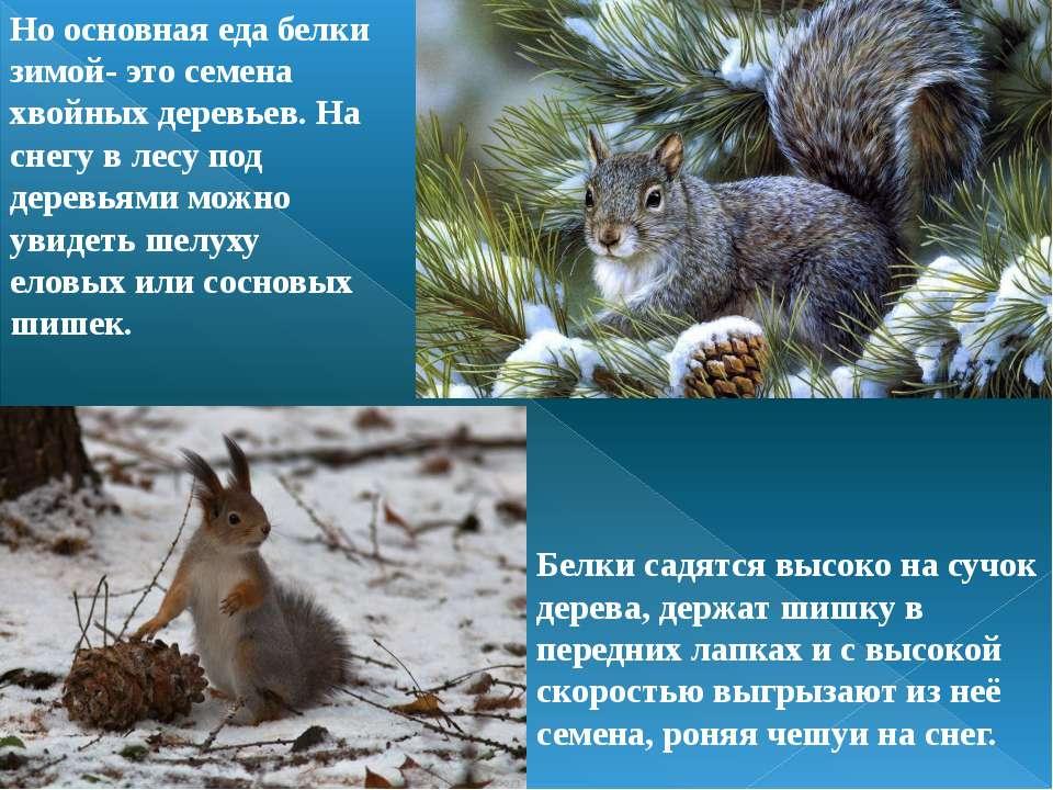 Но основная еда белки зимой- это семена хвойных деревьев. На снегу в лесу под...