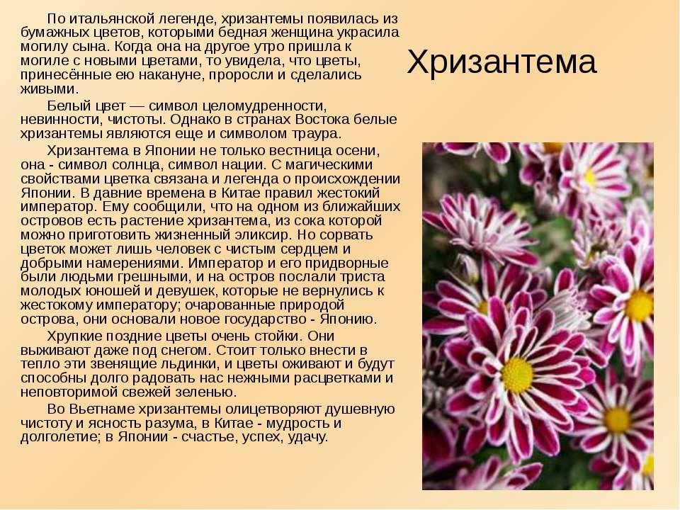 По итальянской легенде, хризантемы появилась из бумажных цветов, которыми бед...