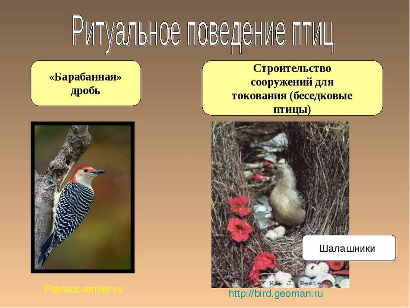 Строительство сооружений для токования (беседковые птицы) «Барабанная» дробь ...
