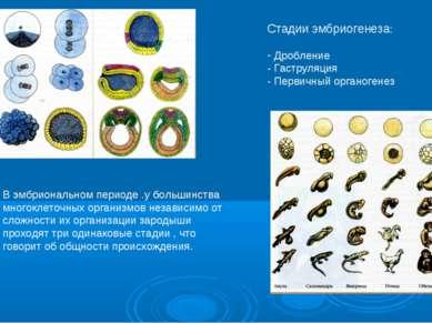 Стадии эмбриогенеза: Дробление - Гаструляция - Первичный органогенез В эмбрио...