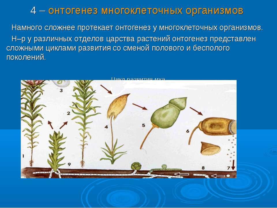 4 – онтогенез многоклеточных организмов Намного сложнее протекает онтогенез у...