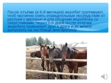 После отъёма (в 6-8 месяцев) жеребят группируют, чтоб частично снять отрицате...