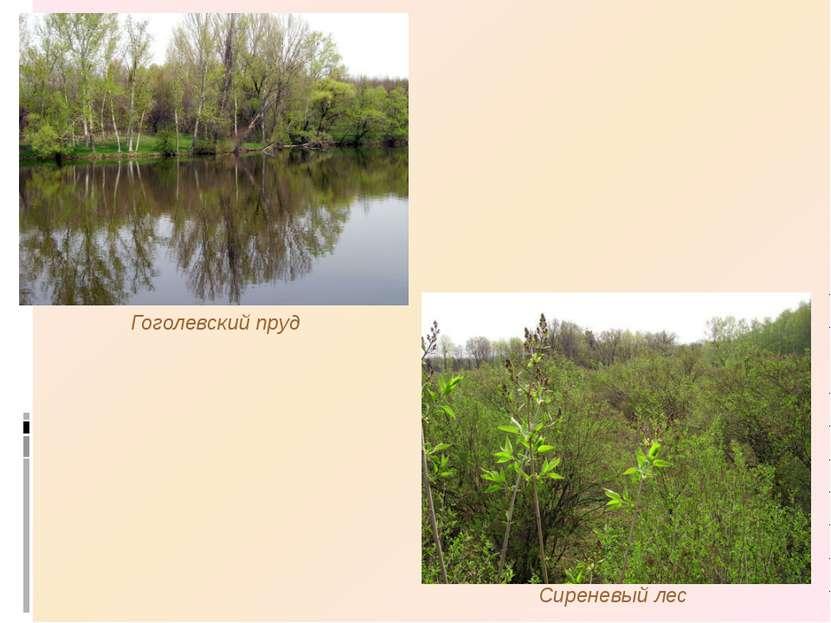 Гоголевский пруд Сиреневый лес